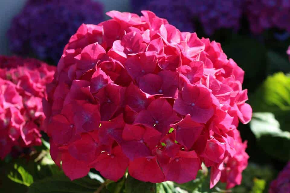 hortensias a plurien